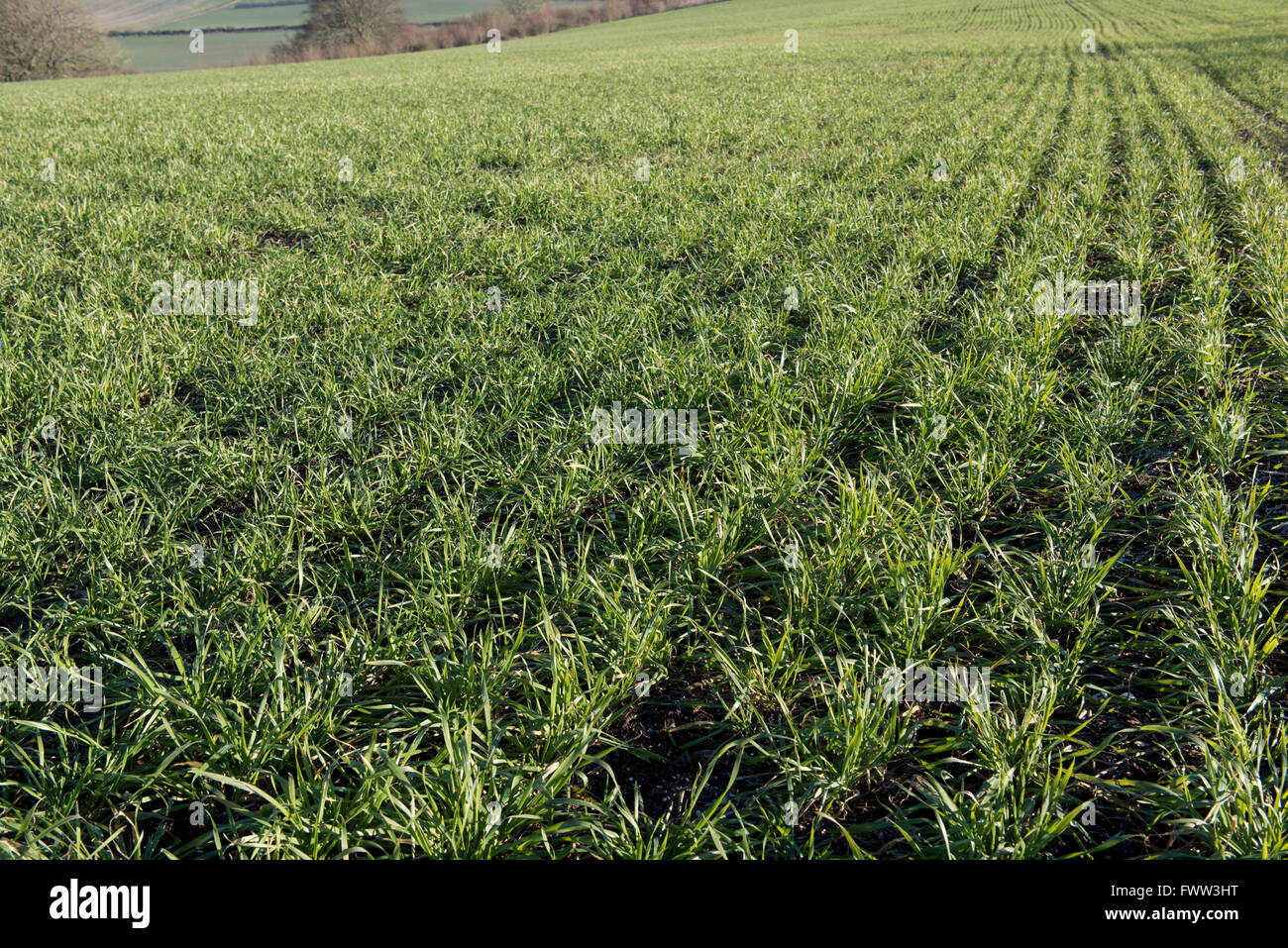 rows of a winter wheat crop with good aerial growth in