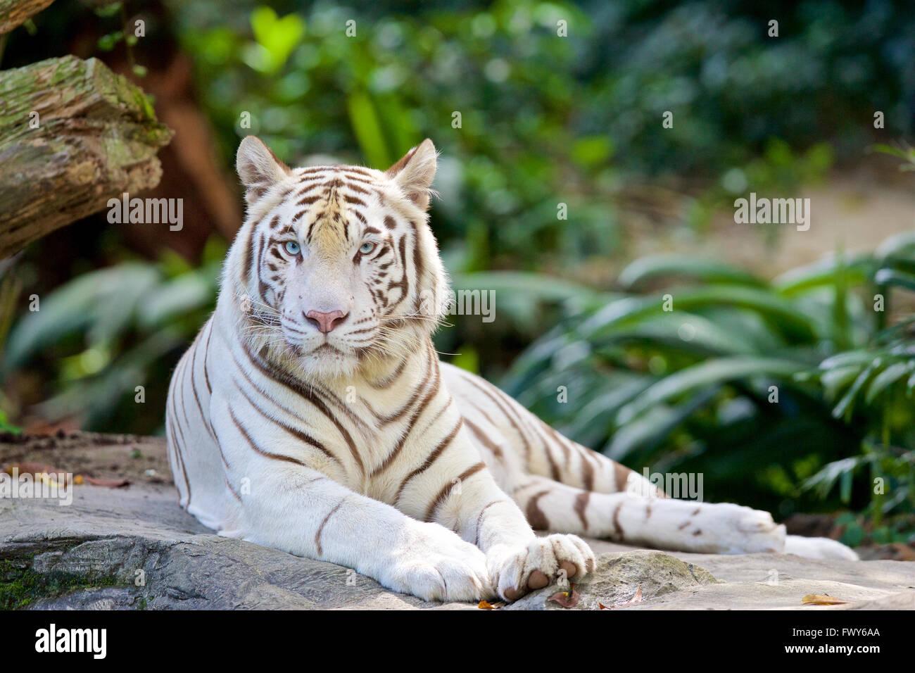 white tiger izzy