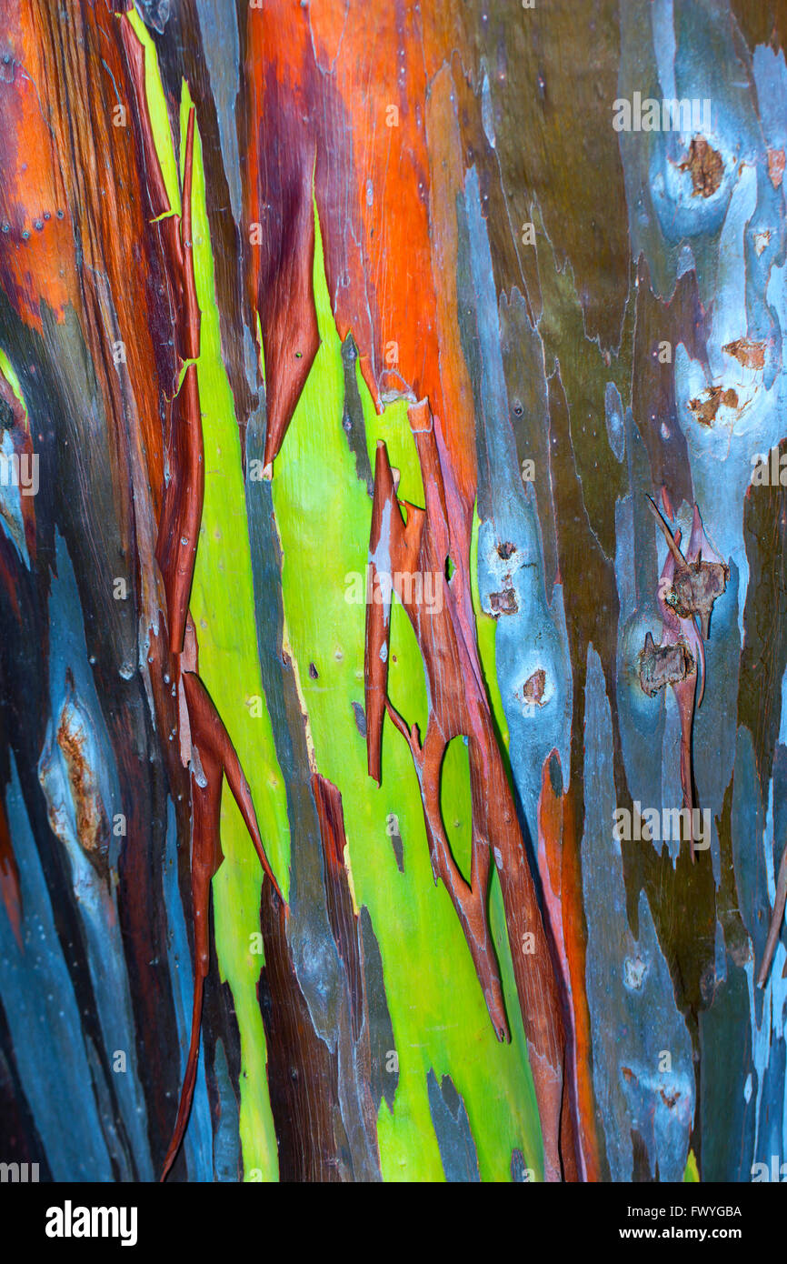 colorful bark on the trunk of a rainbow eucalyptus tree