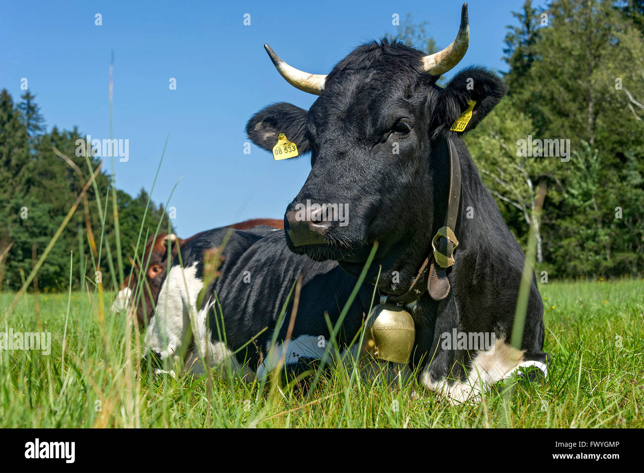 black and white cow with cow bell lying in the pasture domestic