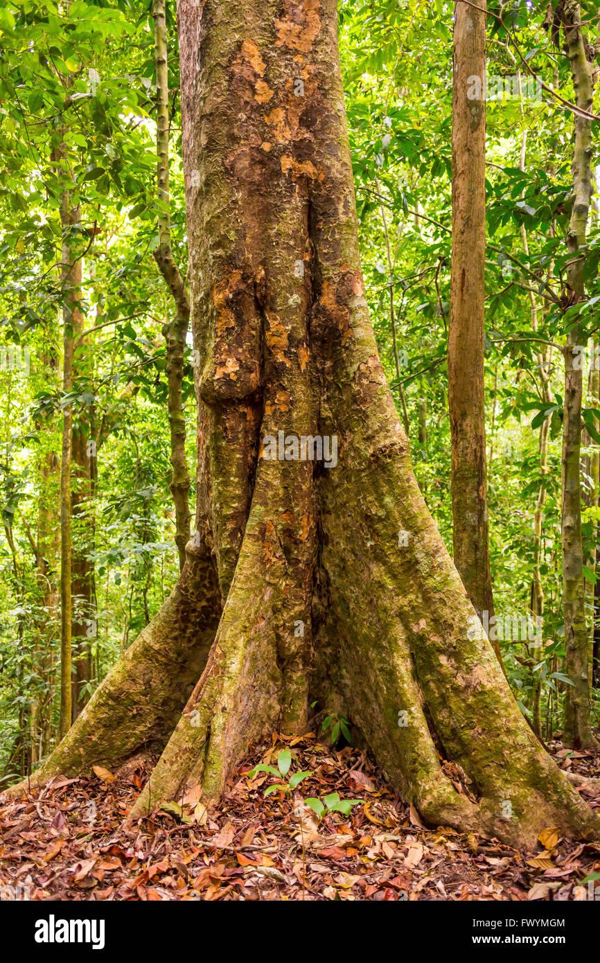 Mahagonibaum  OSA PENINSULA, COSTA RICA - Royal mahogany tree in primary rain ...