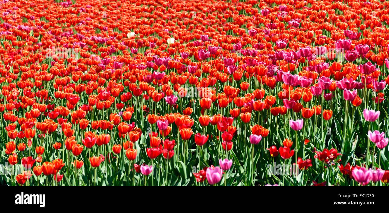 tulip spring flowers field panorama stock photo royalty free