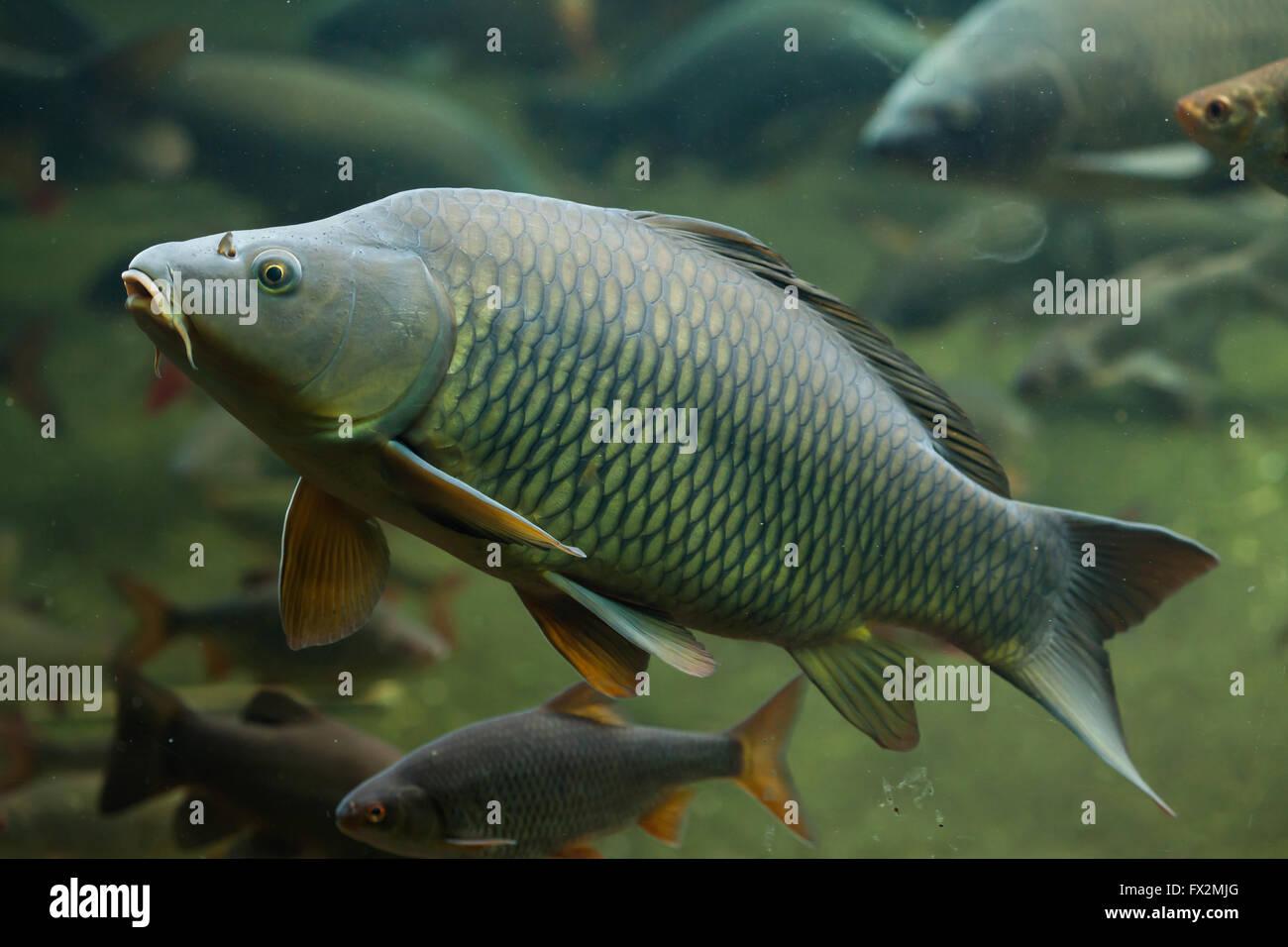 Wild common carp (Cyprinus carpio) at Budapest Zoo in ...