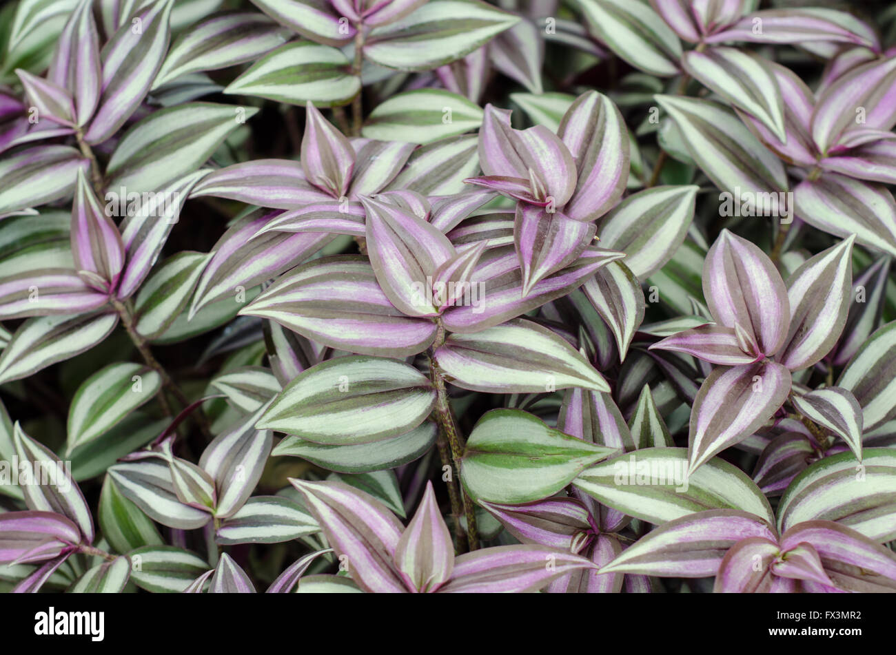 Tradescantia zebrina stock photo royalty free image for Tradescantia zebrina