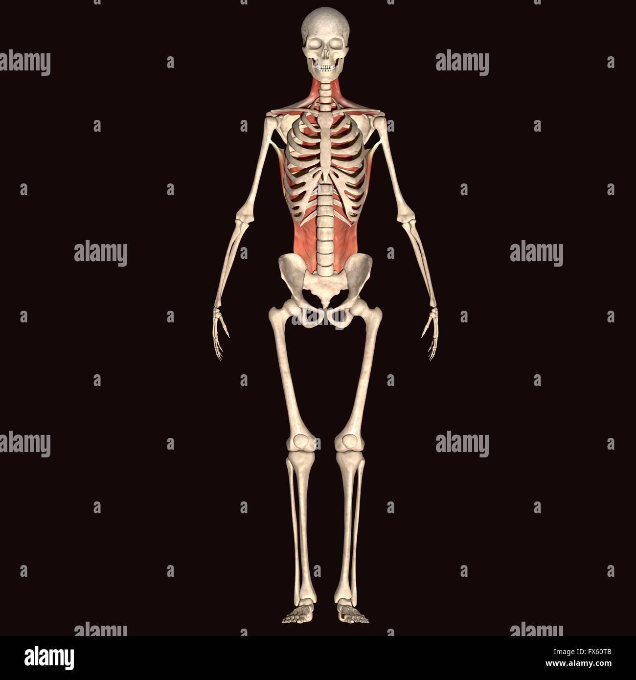 Human anatomy full body
