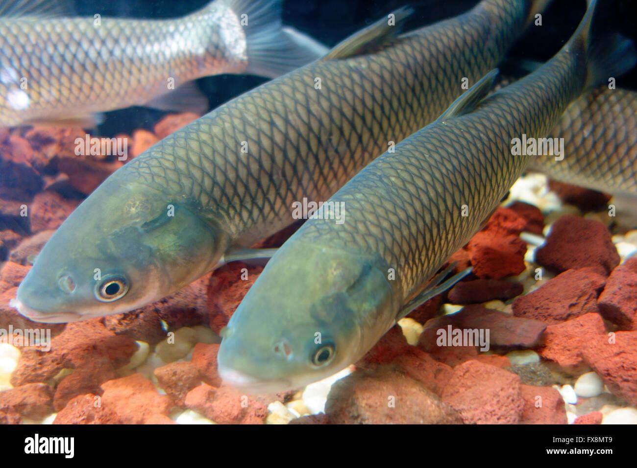 Exotic invasive grass carp fish in florida usa stock for Invasive fish in florida