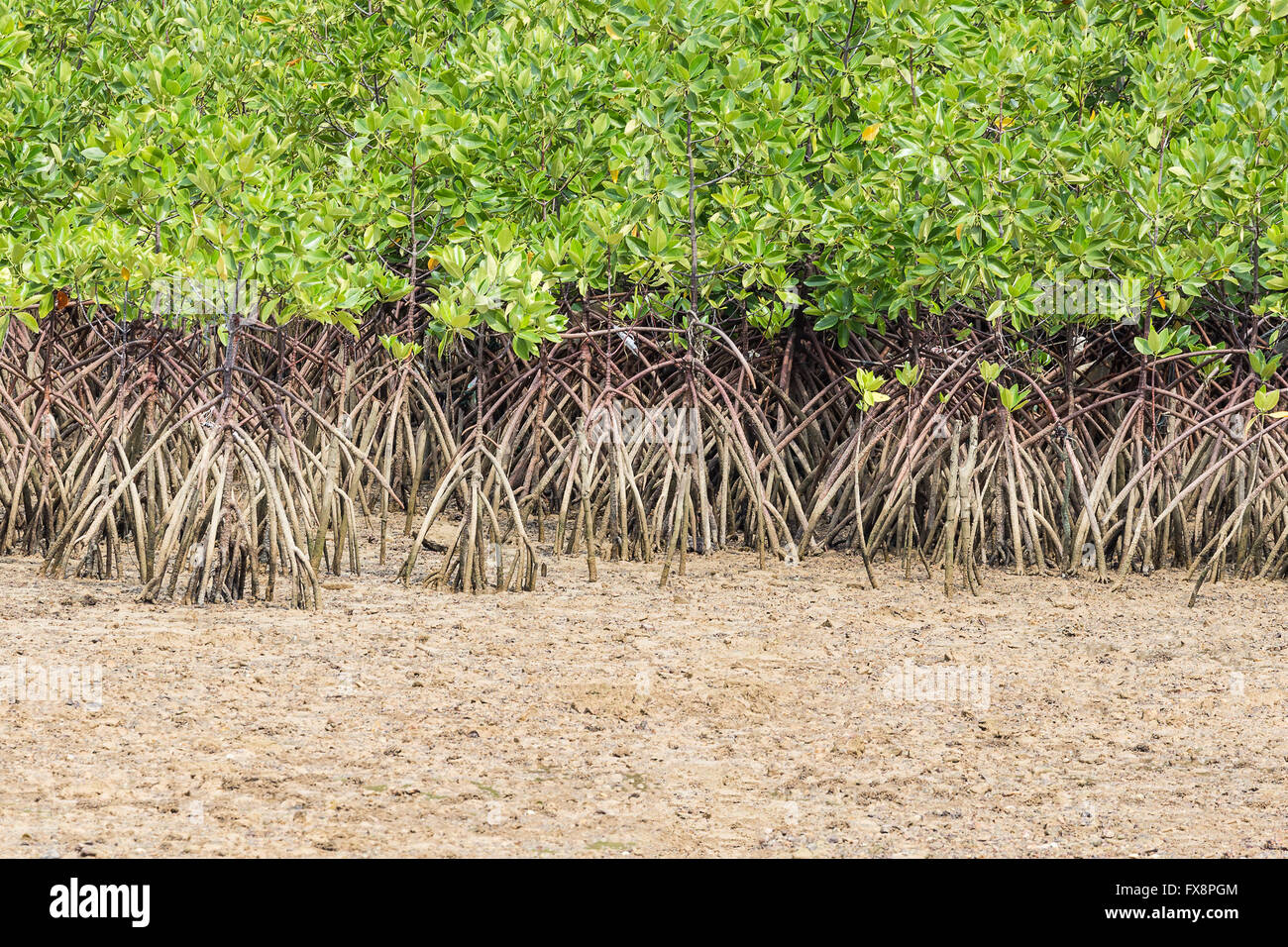 Green leaf mangrove trees grow on the wet brackish water beach or ...