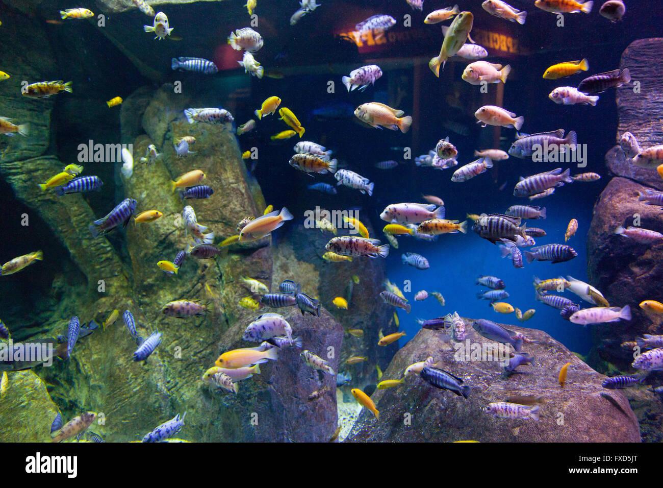 Lake malawi cichlids new york aquarium coney island for Lake malawi fish