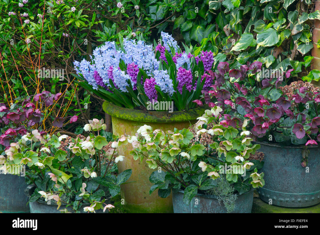 Mixed hyacinths in pots with hellebores against an ivy covered wall stock photo royalty free - Planting hyacinths pots ...
