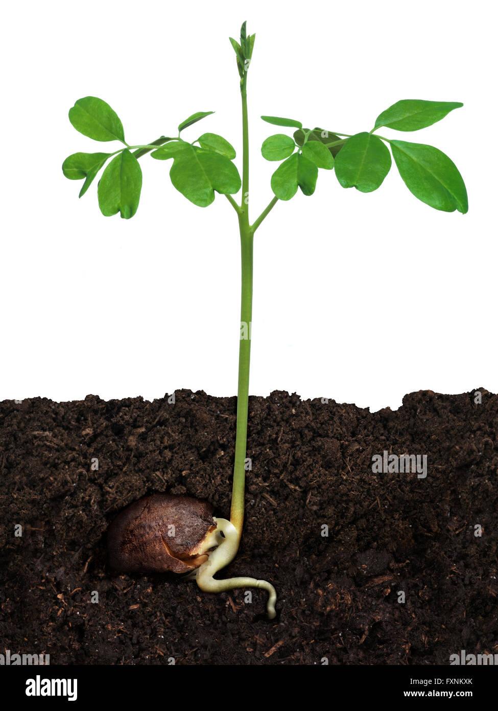 Moringa seeds for planting