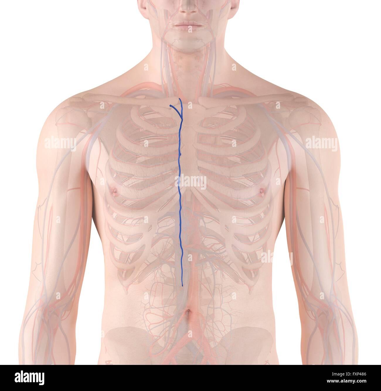 Human Vascular System Computer Illustration Stock Photo Royalty