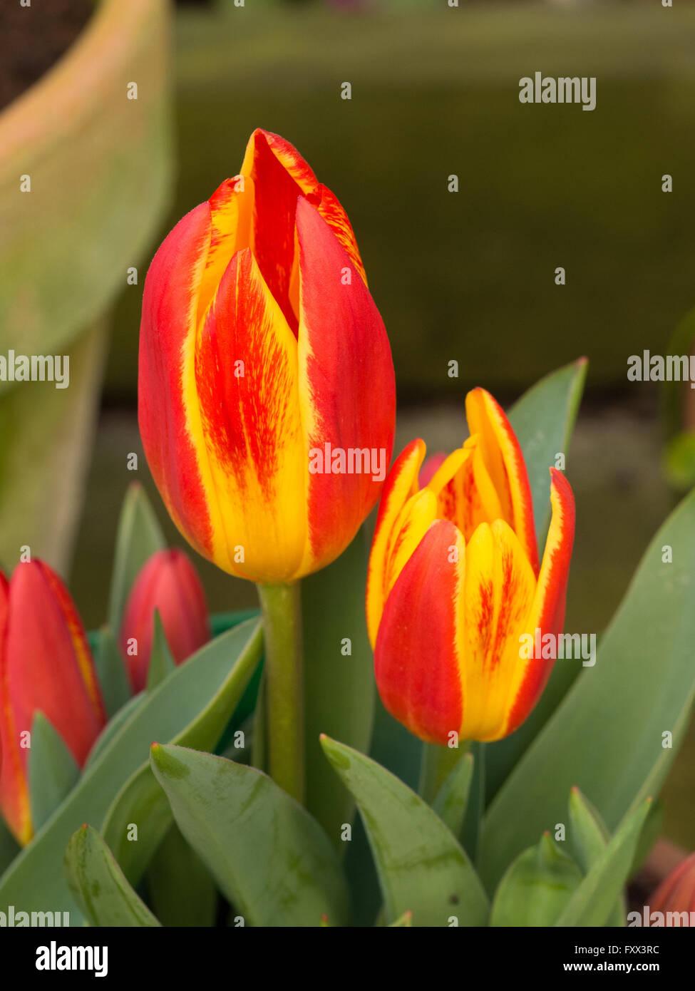 tulip u0027spanish flag u0027 flowers stock photo royalty free image