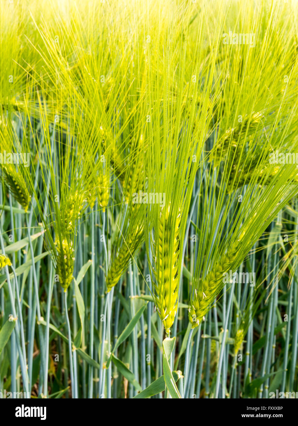 Barley Ear With Awns On A Field