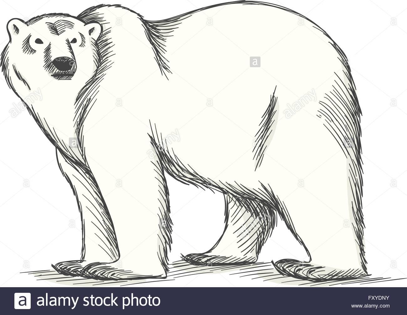 polar bear hand drawn illustration stock vector art u0026 illustration
