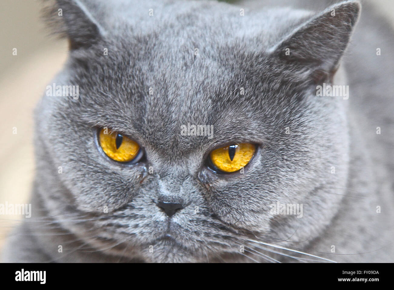 Cat breeds British Shorthair blue color Stock Royalty Free