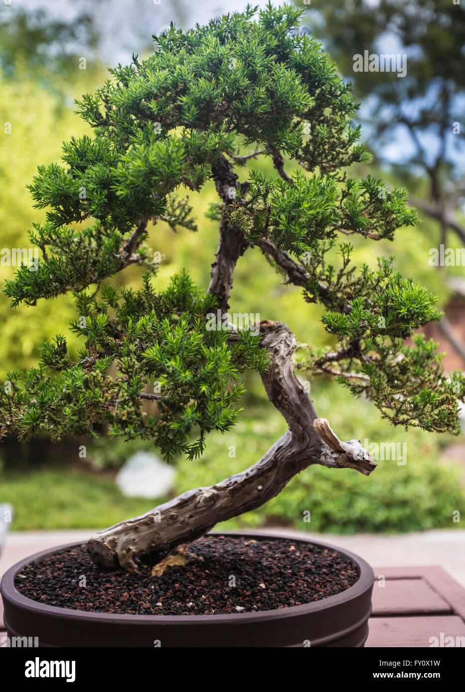 Bonsai Tree In Japanese Garden Stock Photos Amp Bonsai Tree In