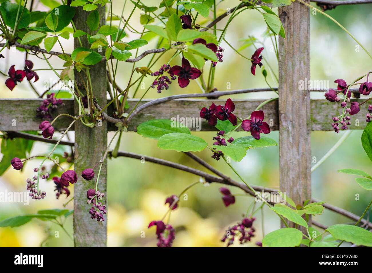 Chocolate Vine Stock Photos & Chocolate Vine Stock Images - Alamy