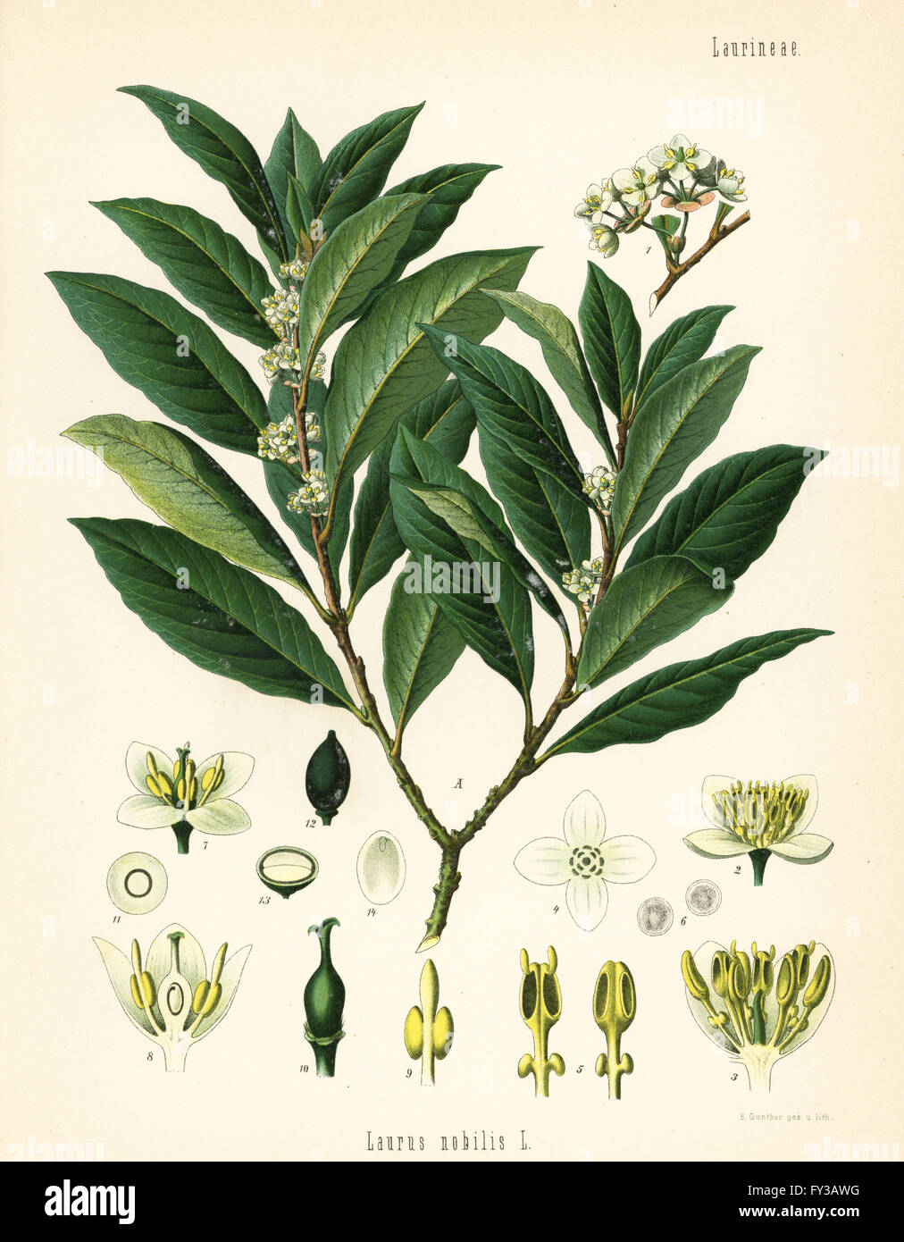 bay laurel or sweet bay tree laurus nobilis. Black Bedroom Furniture Sets. Home Design Ideas