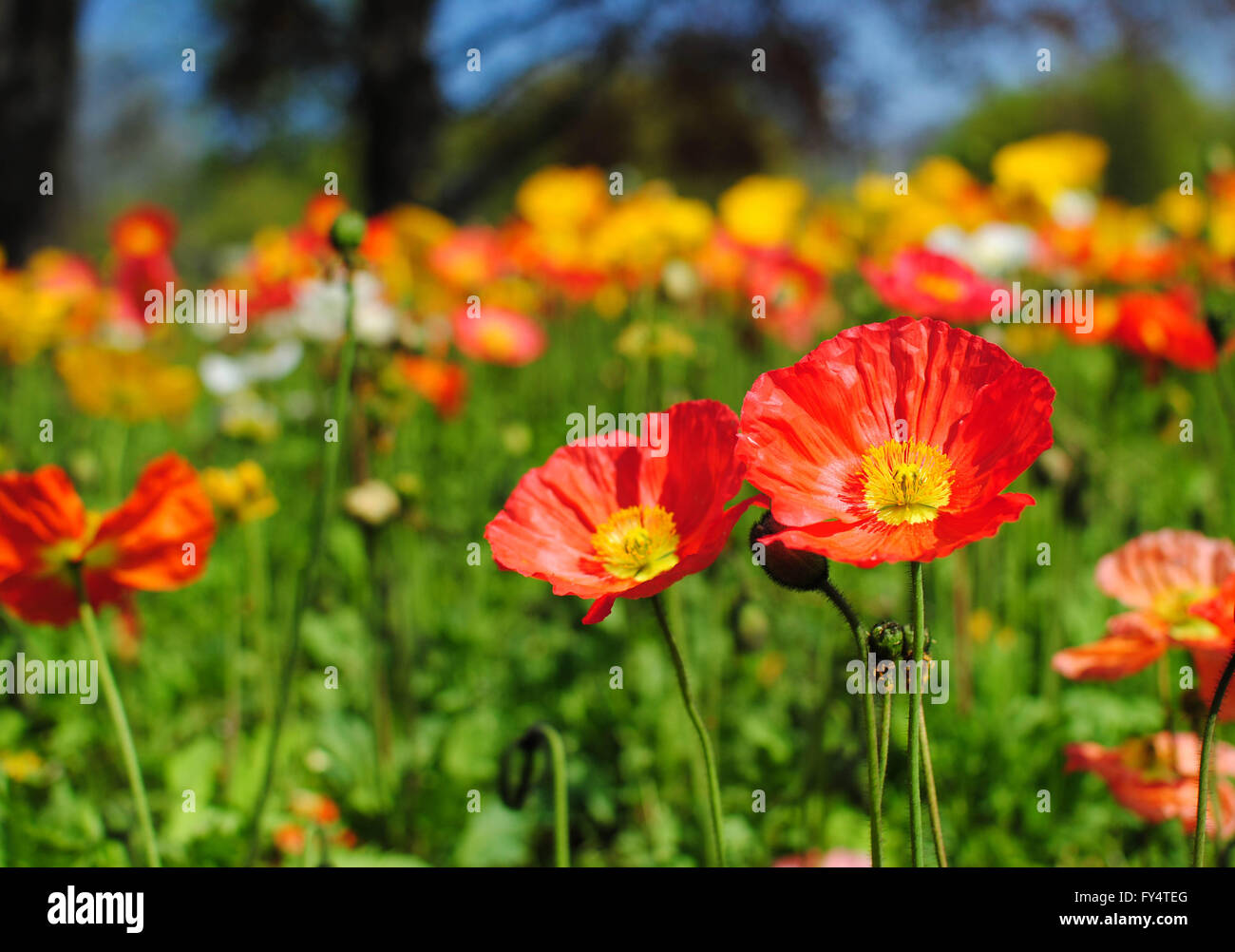 The poppy flower is a symbol of the spring in europe stock photo the poppy flower is a symbol of the spring in europe buycottarizona