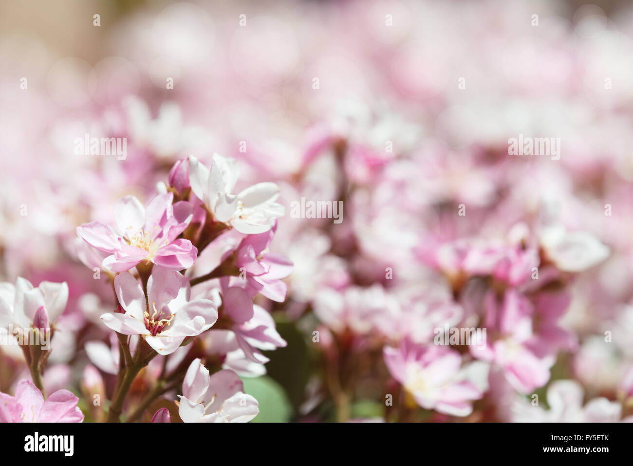 Indian hawthorn rhaphiolepis indica pink lady flowers blooming indian hawthorn rhaphiolepis indica pink lady flowers blooming in spring time dhlflorist Choice Image