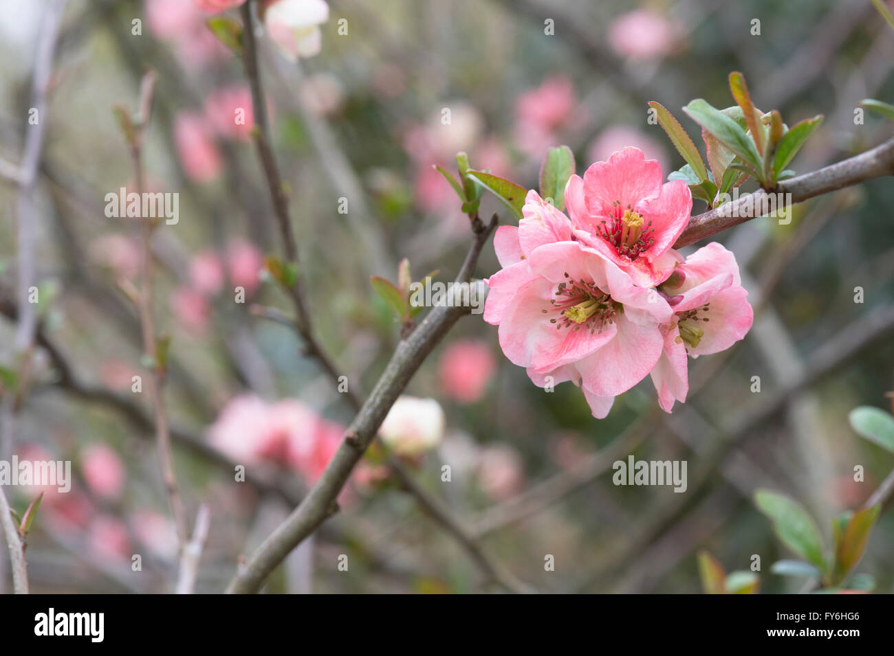 chaenomeles x superba u0027ernst finkenu0027 japanese quince flower stock image - Quince Flower