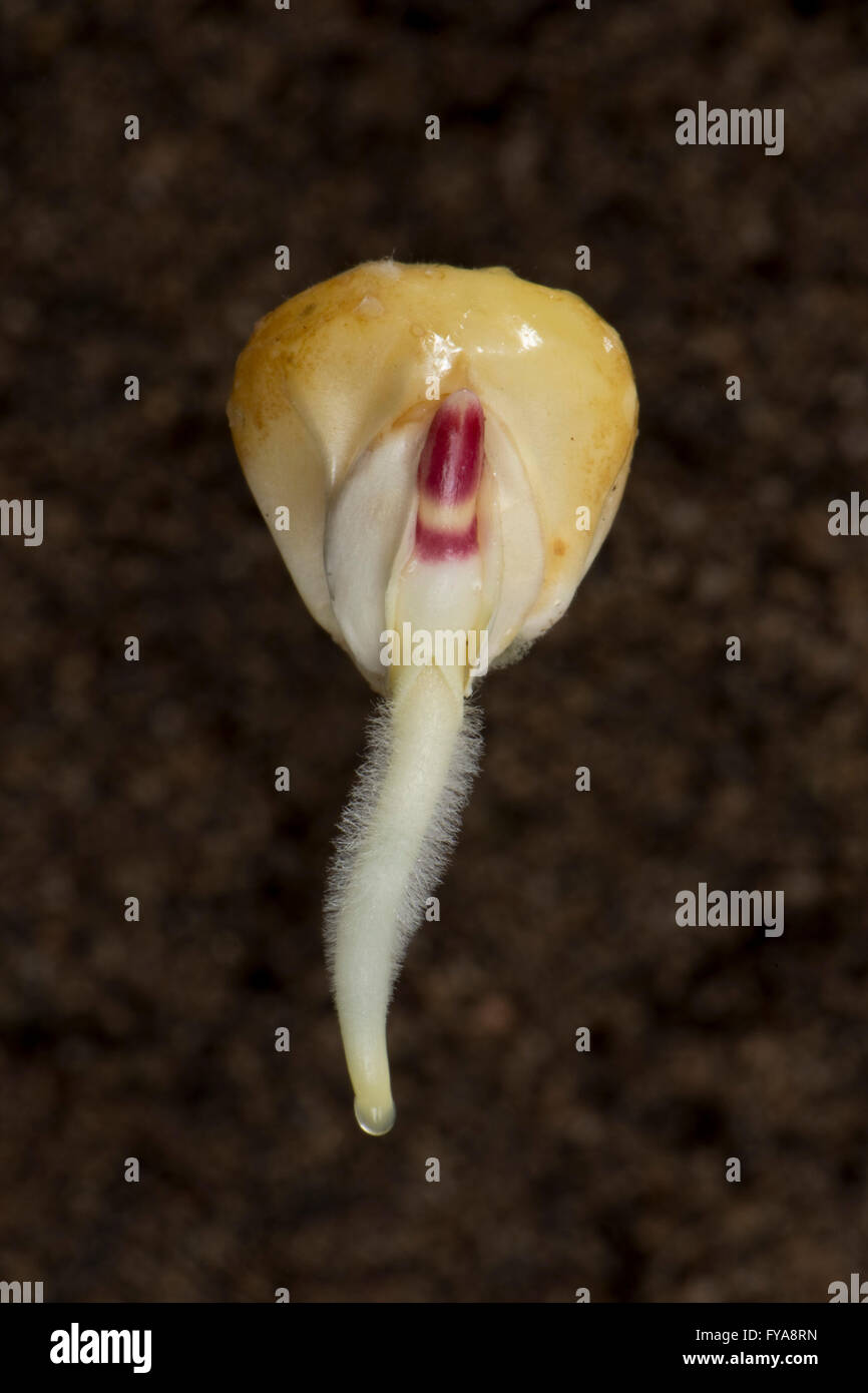 effect of temperature on germinating seeds The lowlands, to temperatures the seeds would likely encounter during  effects  of cold periods on seed germination and seedling morphology.