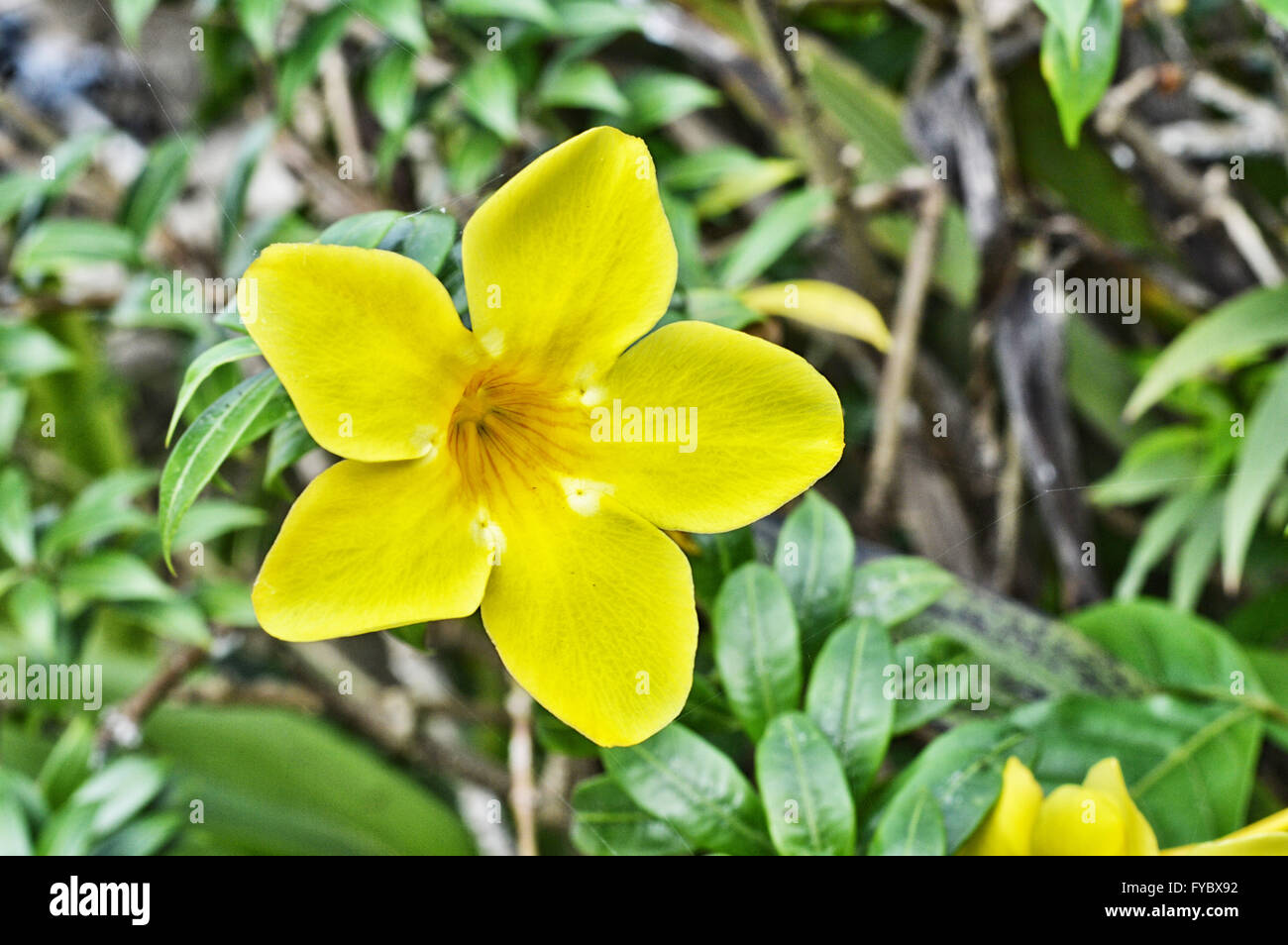 Yellow trumpet flower tree in nature stock photo 102909662 alamy yellow trumpet flower tree in nature mightylinksfo