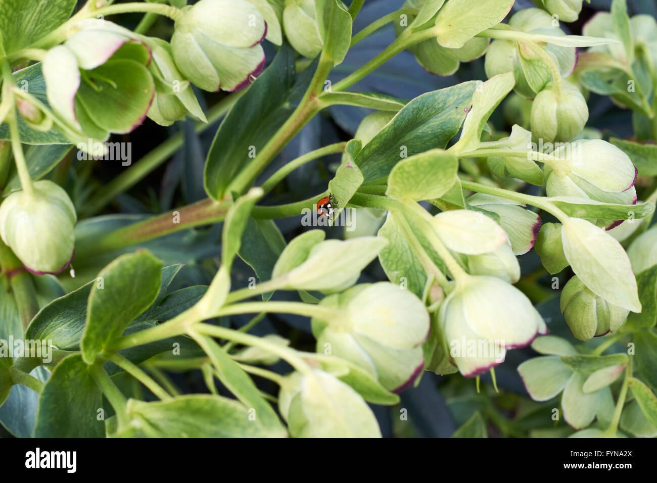 hellebore helleborus argutifolius growing in spring garden stock