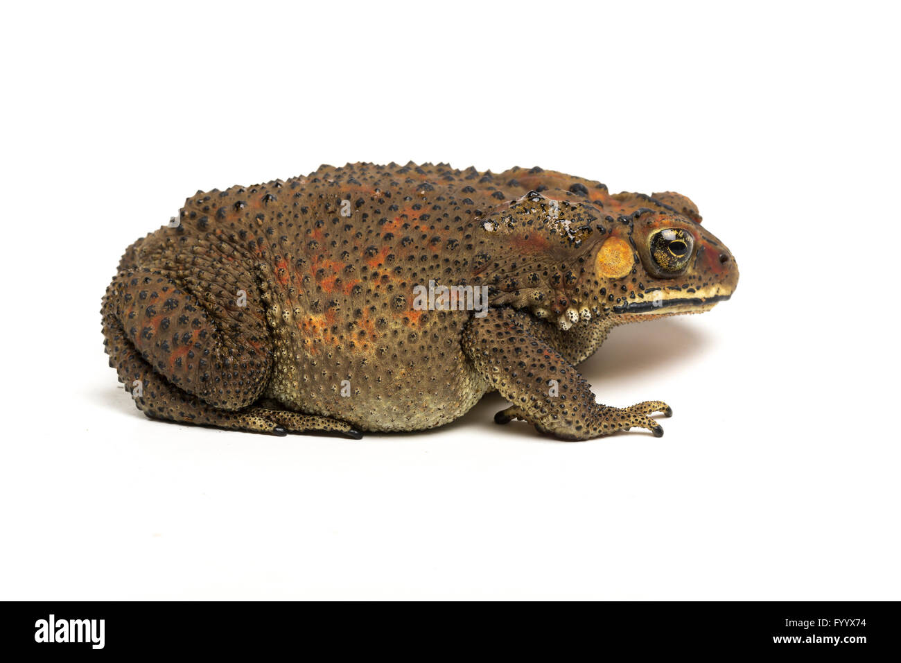Girl type. asian river toads habitat like