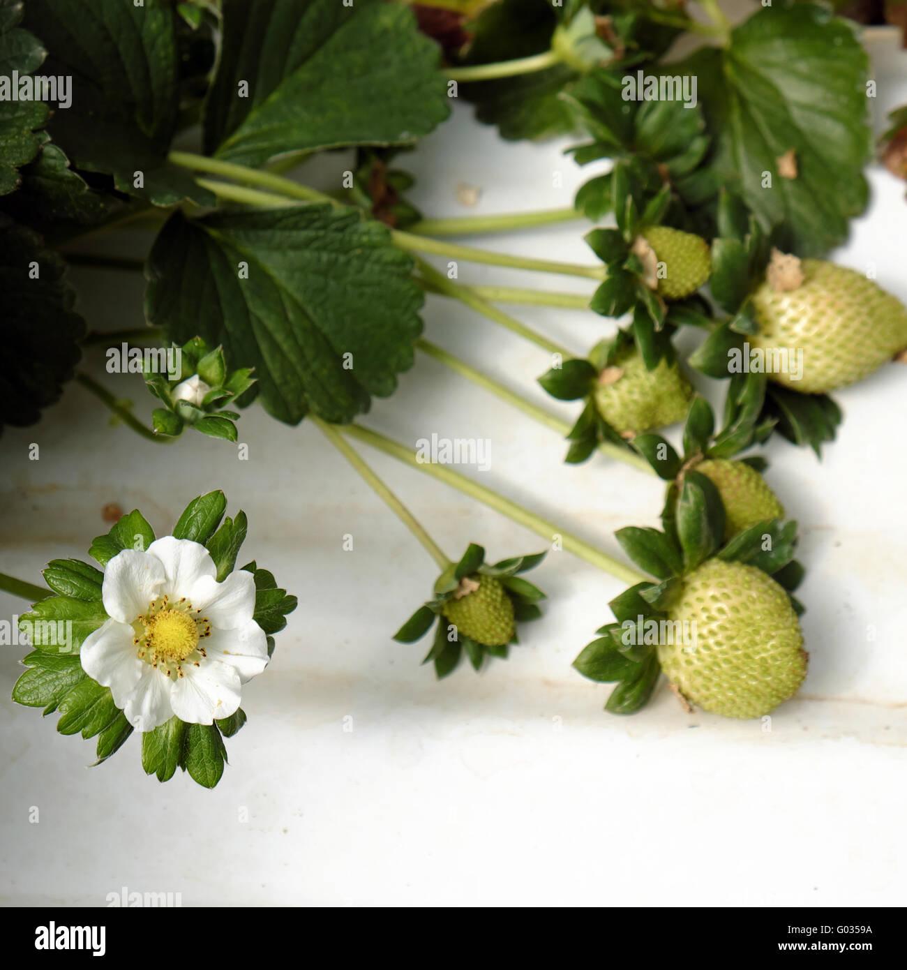 Crop At Strawberry Garden Da Lat, Viet Nam, High Tech Agriculture To Make  Clean