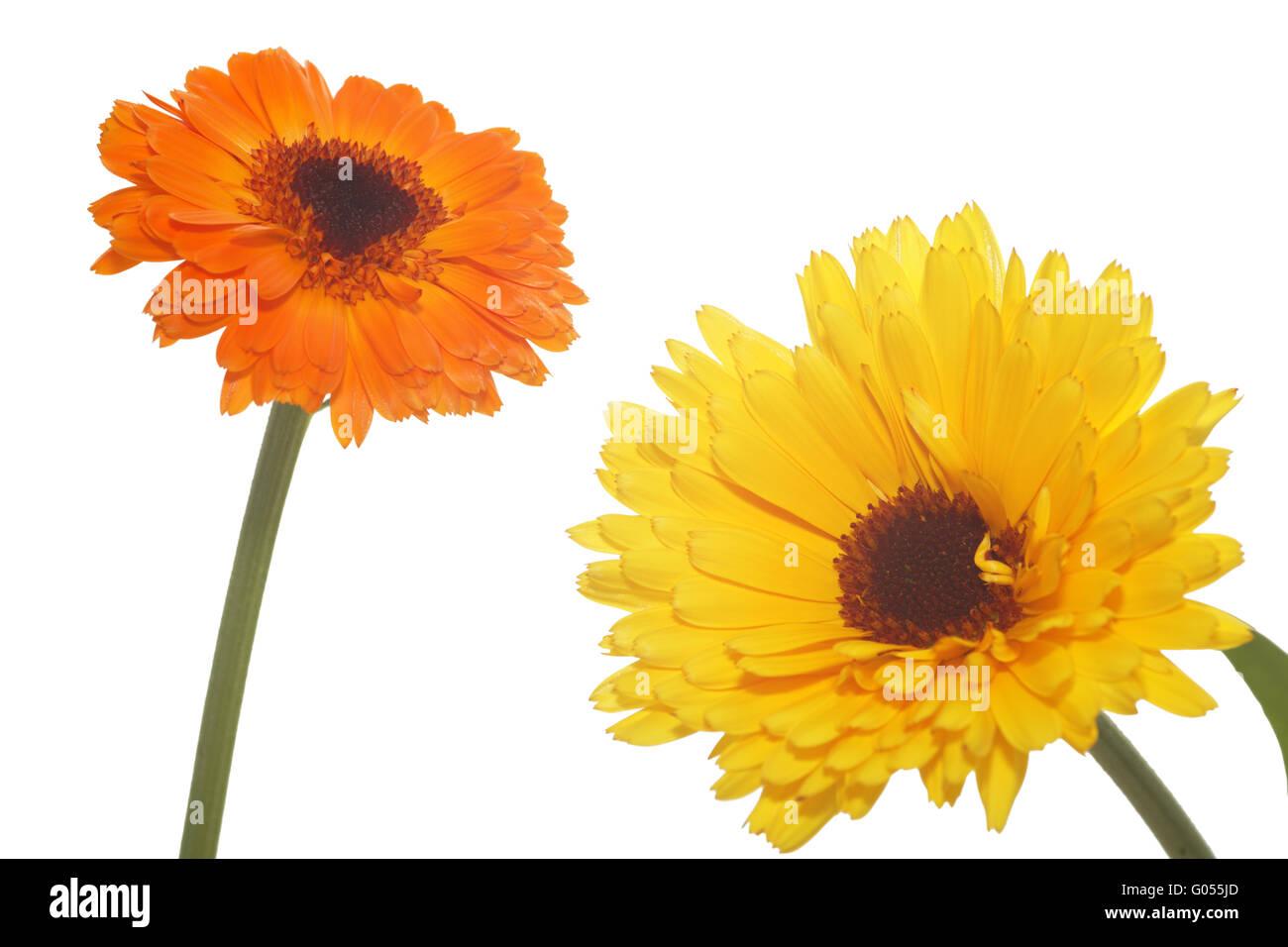 Image Gallery white calendula