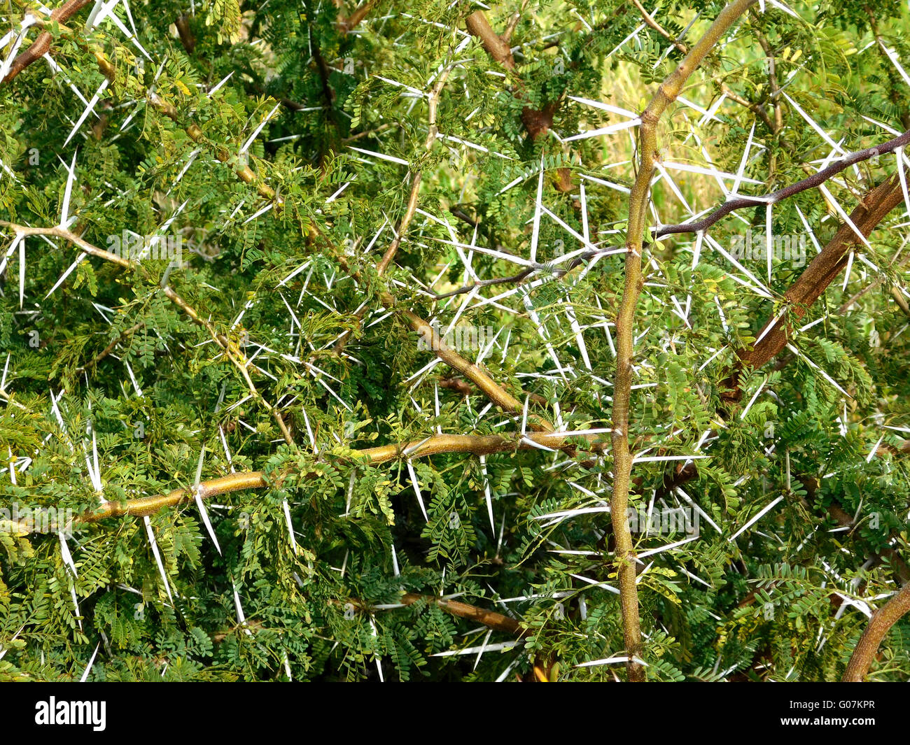thorny plants Stock Photo, Royalty Free Image: 103431407 ...
