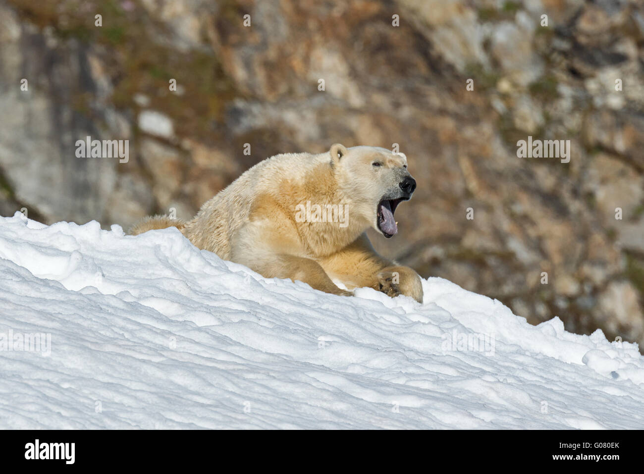 one polar bear laying down and rolling in the snow at fuglefjorden on spitsbergen svalbard