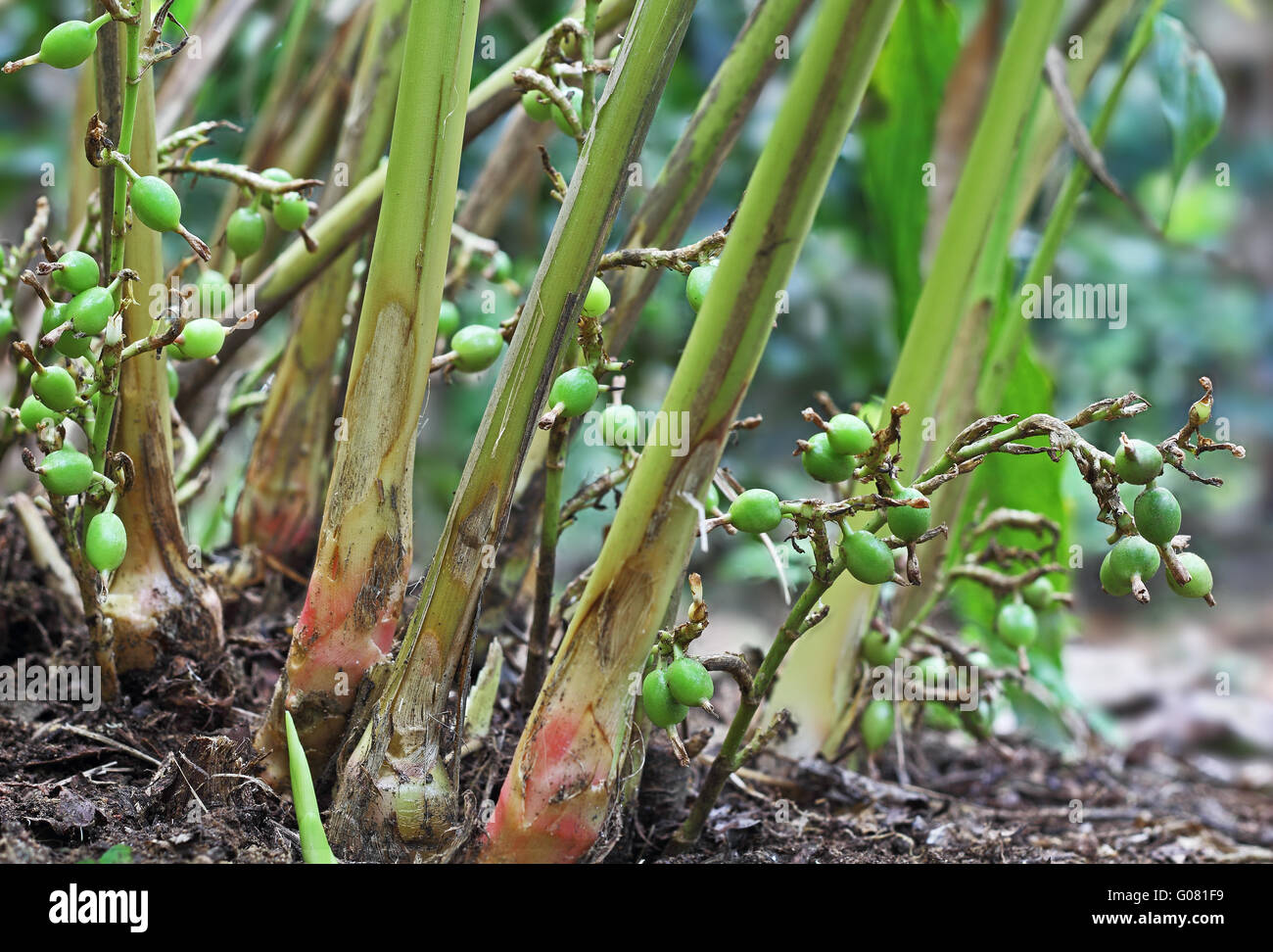 Green and unripe cardamom pods in plant in kerala india for Garden pods to live in