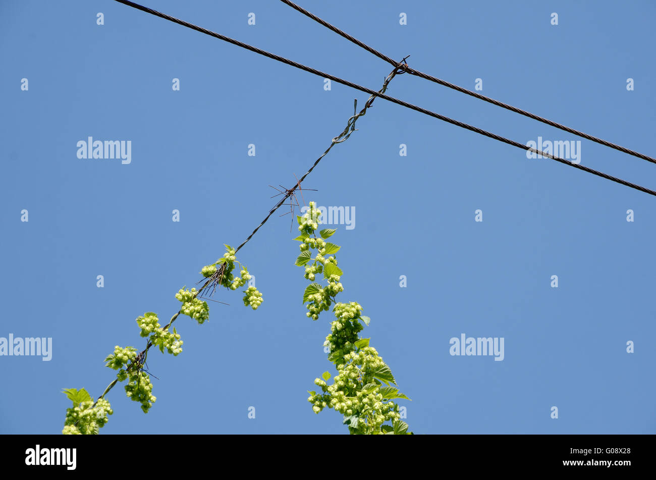 Hops and wires Stock Photo: 103458272 - Alamy