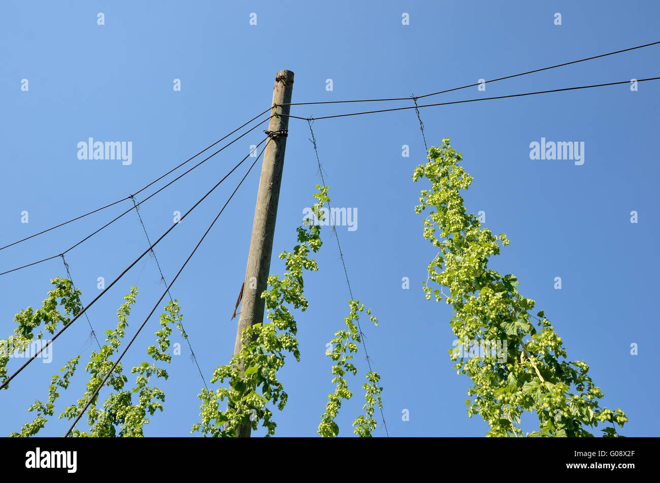 Hops plants on rank wires Stock Photo, Royalty Free Image ...