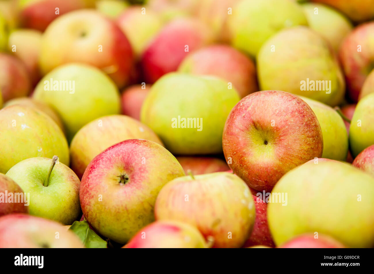 freshly harvested colorful crimson crisp apples on display at the stock photo  royalty free