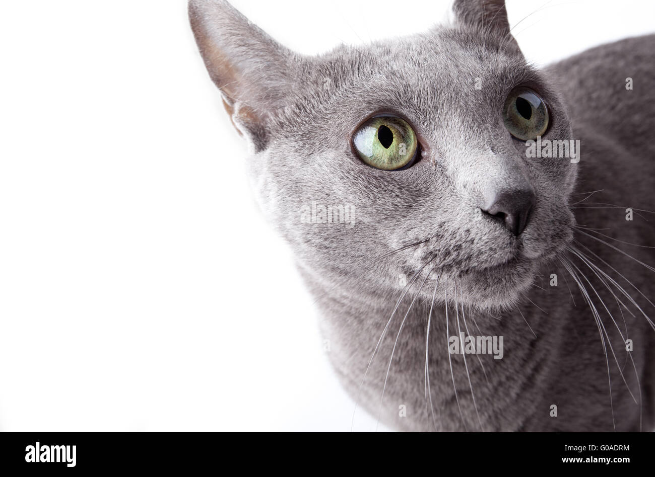 Funny looking cat isolated on white studio shot Stock