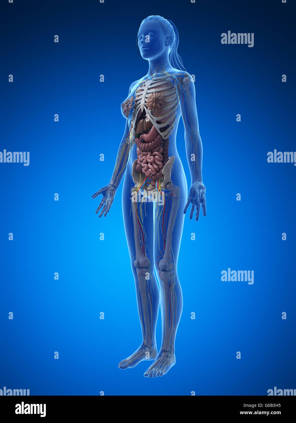 3d Rendered Illustration Of The Female Anatomy Stock Photo Royalty