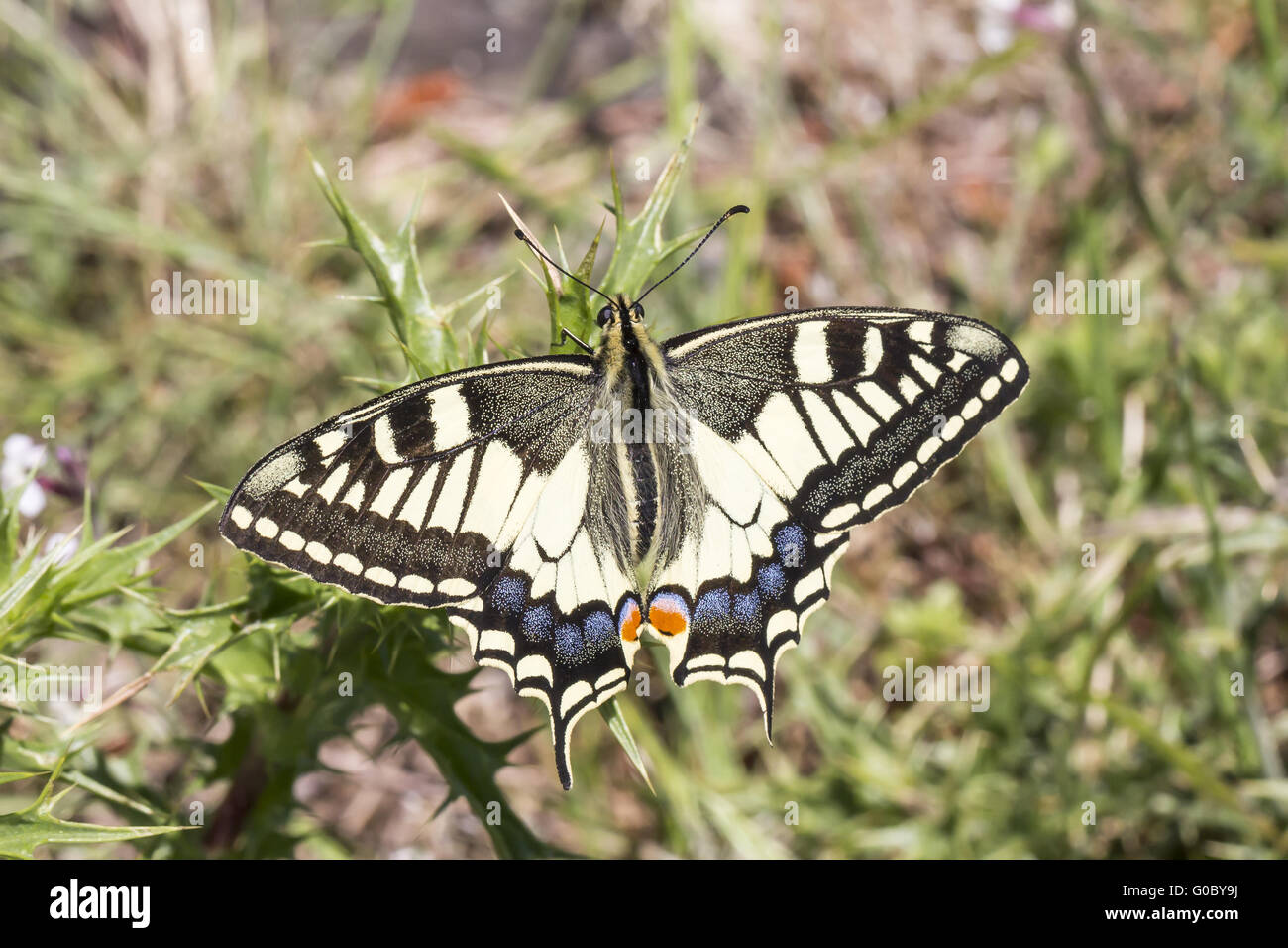 Papilio Machaon Swallowtail Butterfly From Europe Stock
