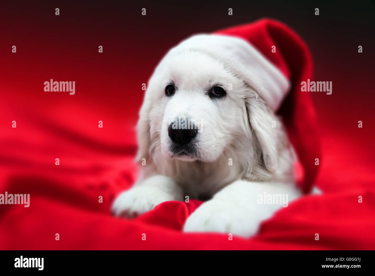 Cute white puppy dog in Chrstimas hat lying in red satin Holiday