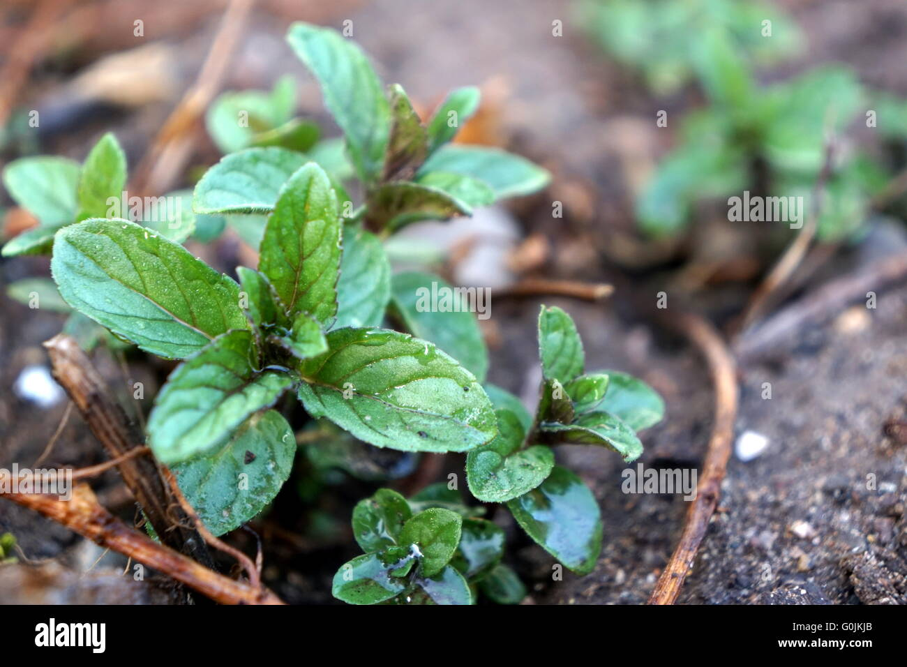 Chocolate Mint Plant Close Up Stock Photo, Royalty Free Image ...