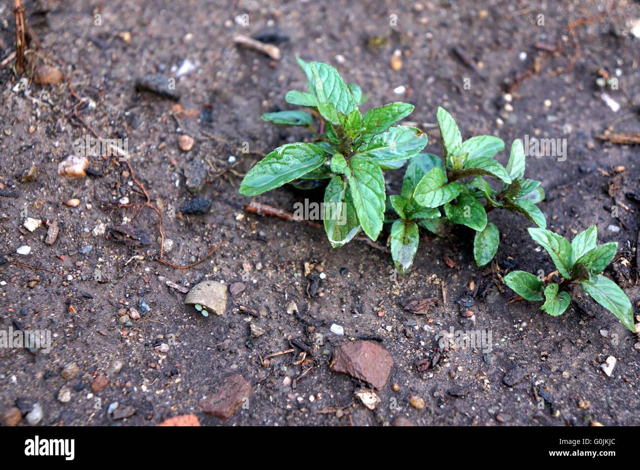Chocolate Mint Plant Stock Photo, Royalty Free Image: 103672756 ...