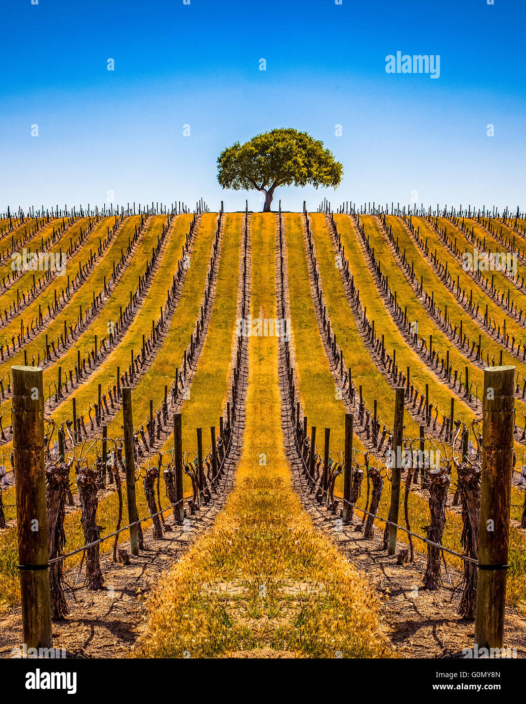 a-lone-tree-in-a-vineyard-in-paso-robles