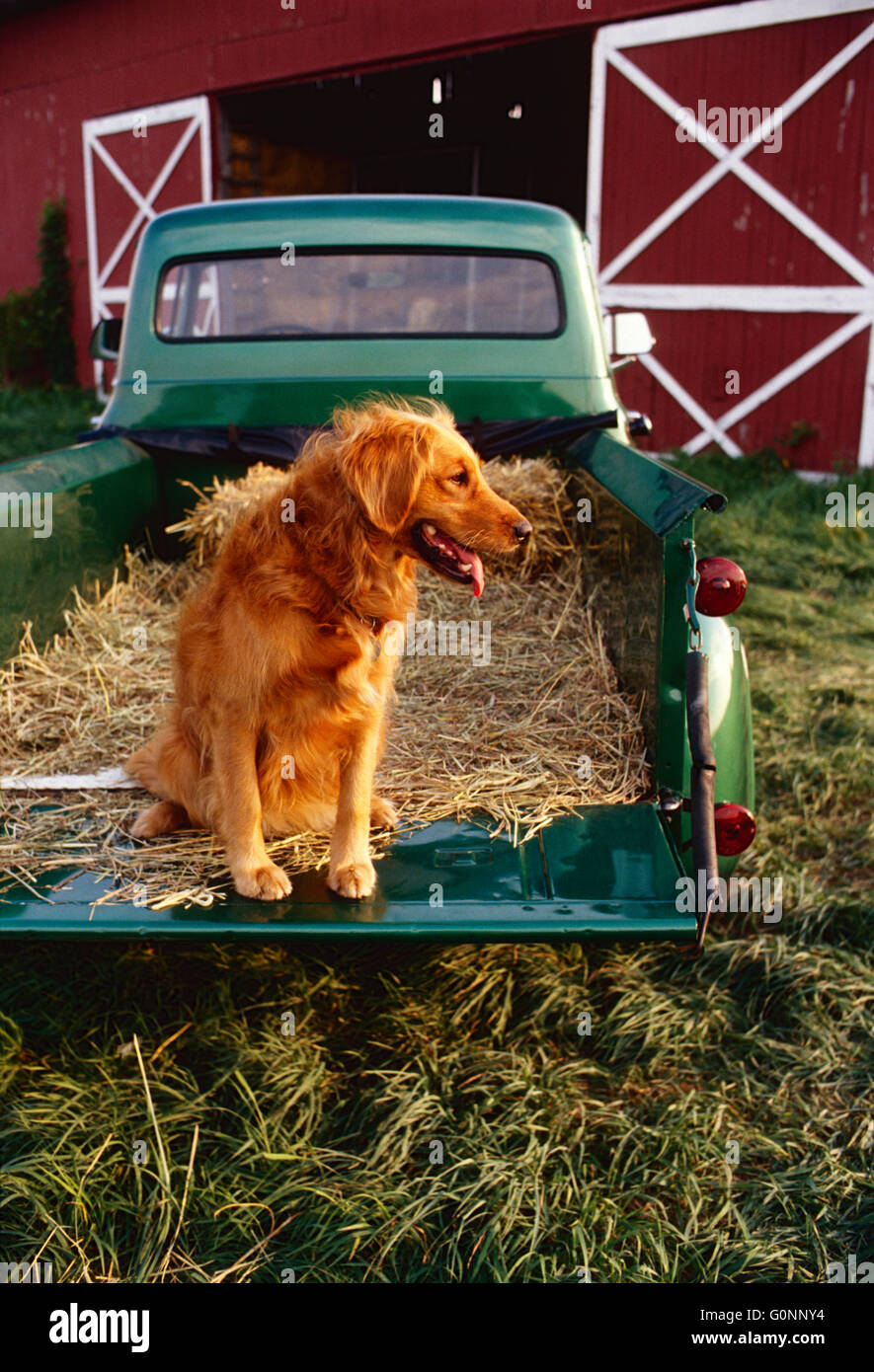 Golden Retriever dog in bed of antique Ford green & gold pick up ...
