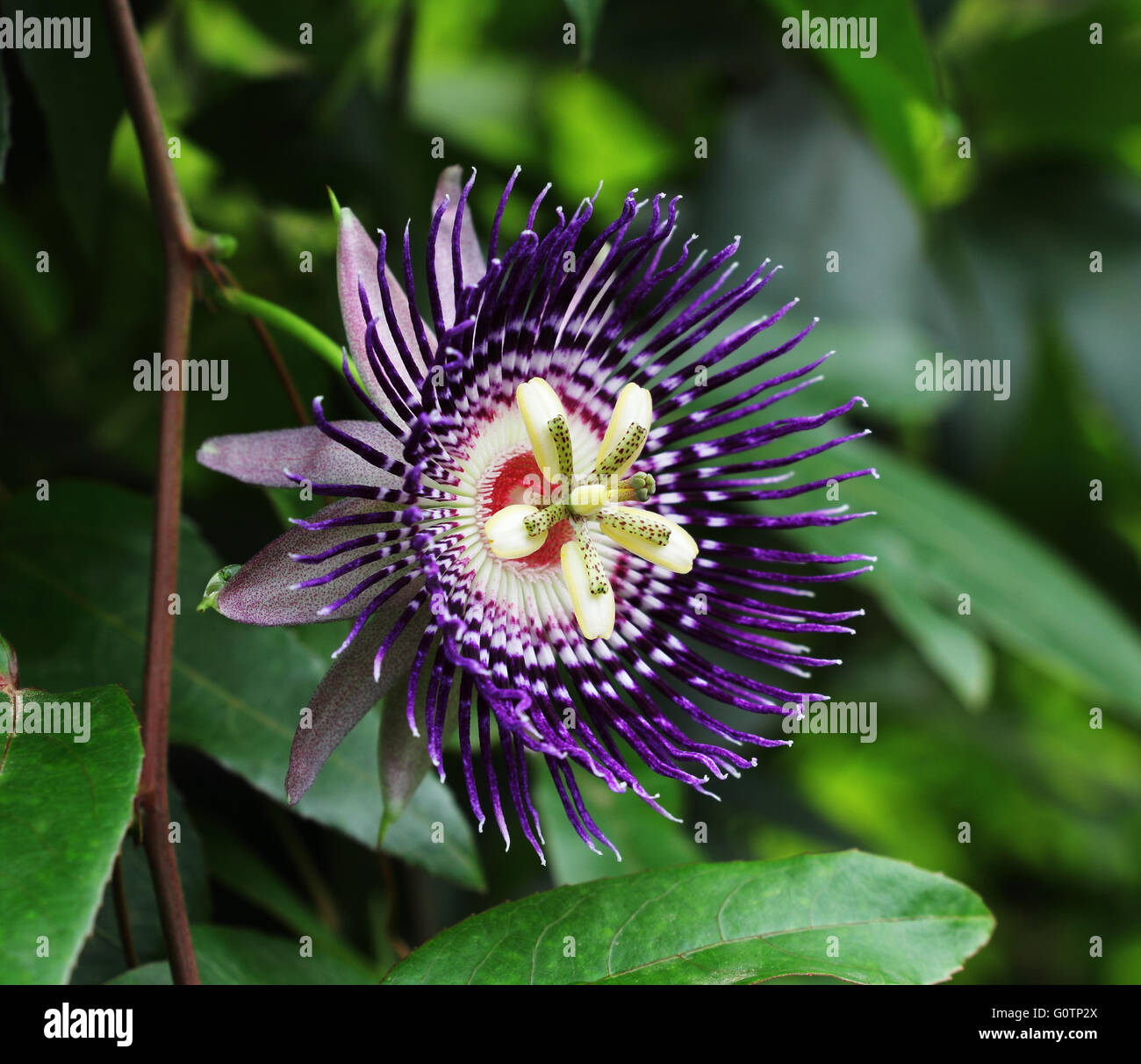 how to train a passionfruit vine