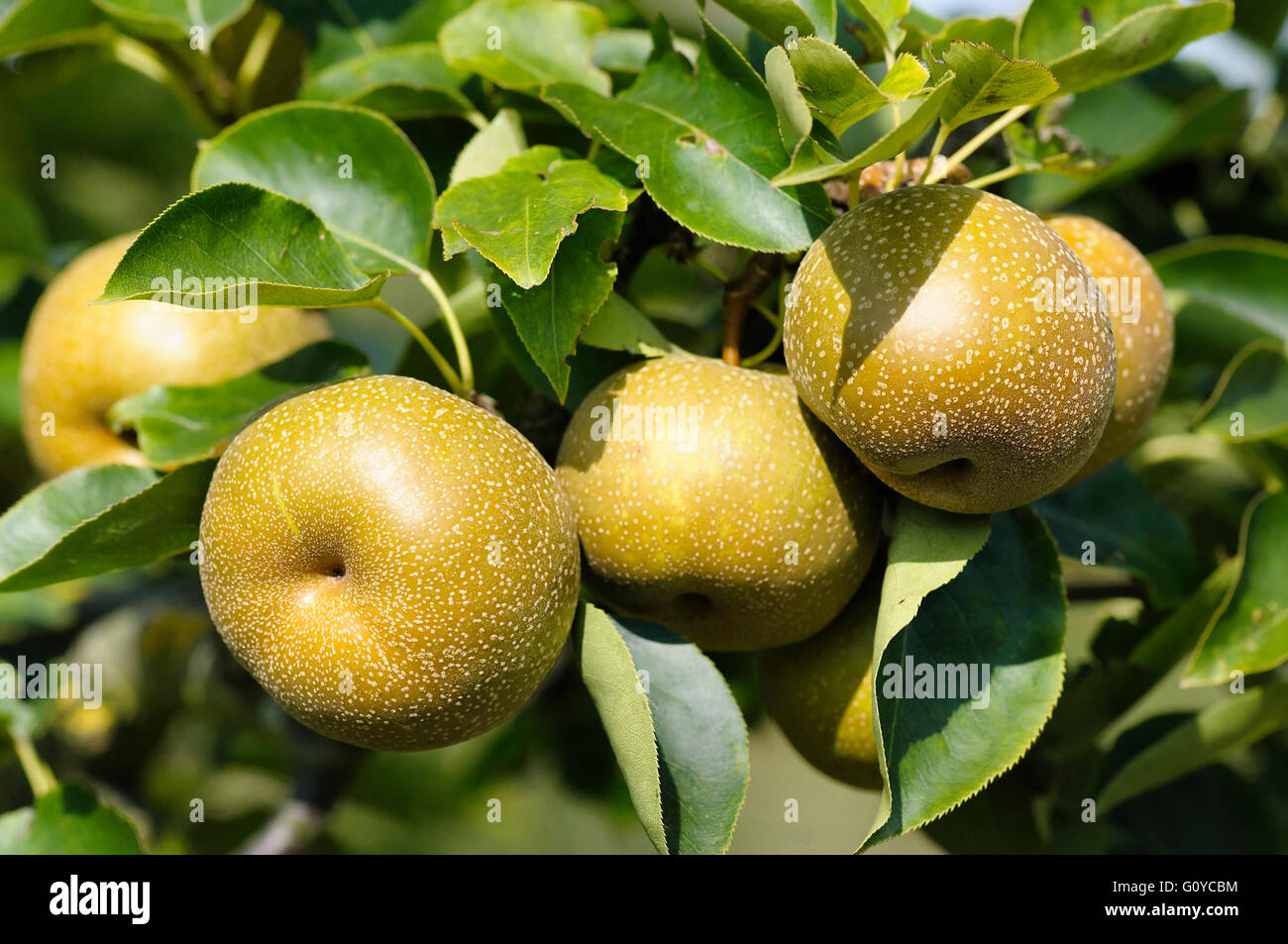 Shinko asian pear edible landscaping - Pear Nashi Pear Pyrus Pyrus Pyrifolia Apple Pear Asian Nashi Pear