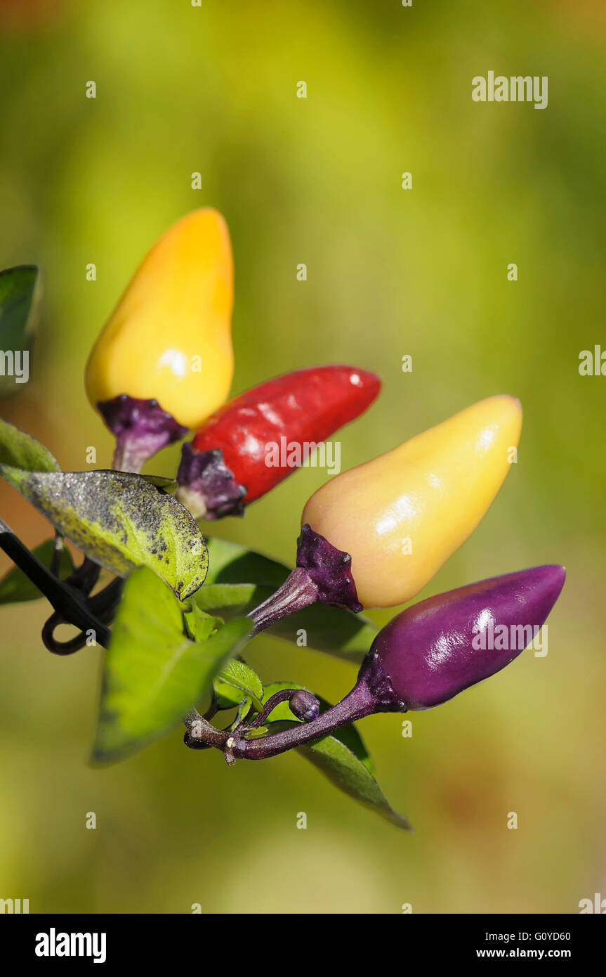 Chilli Fairy Lights Chilli Capsicum Capsicum Annuum Annual Beauty In Nature Chilli Pepper Colour Culinary Uses Edible Summer Flowering