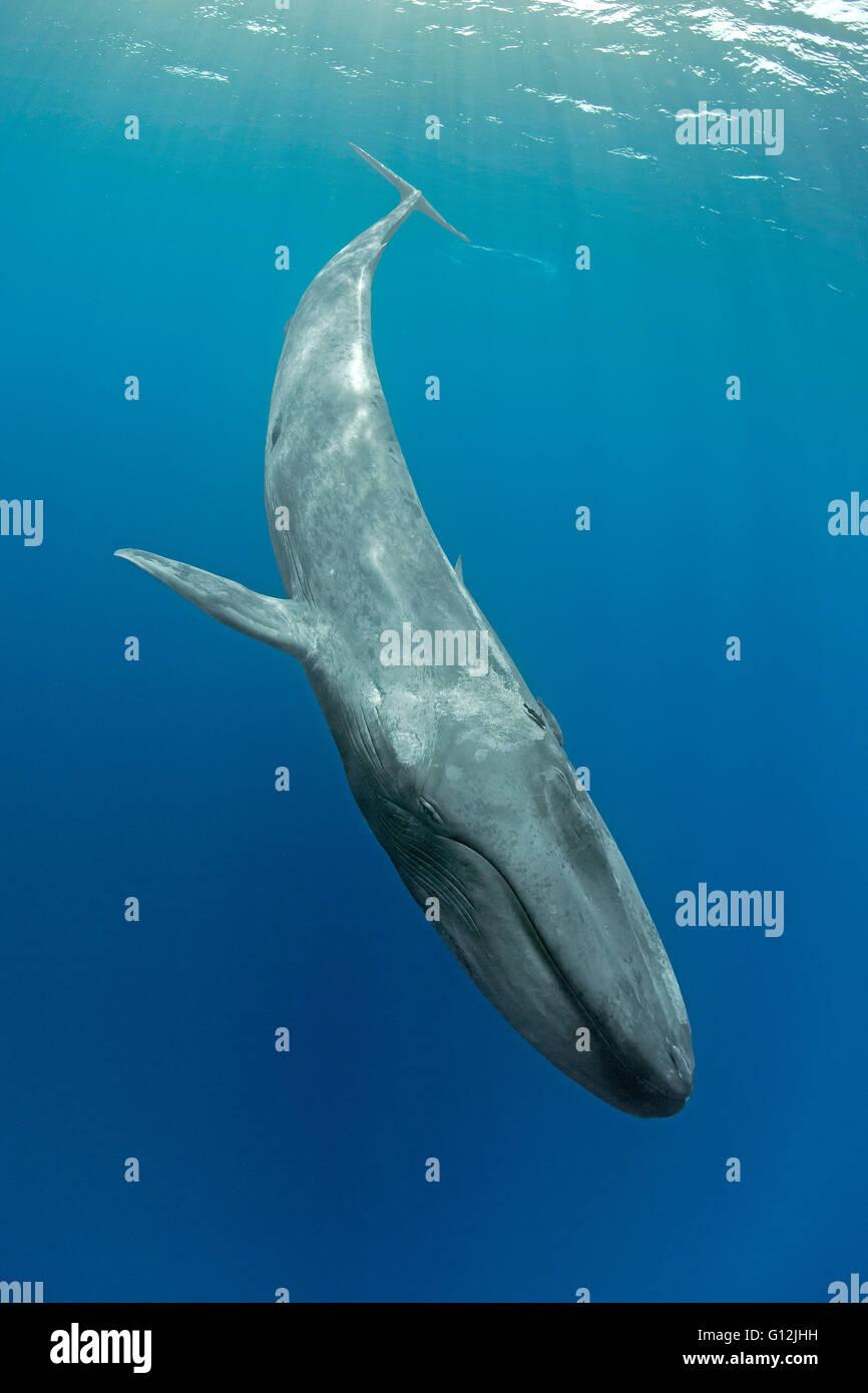 Blue Whale, Balaenoptera musculus, Indian Ocean, Sri Lanka ...