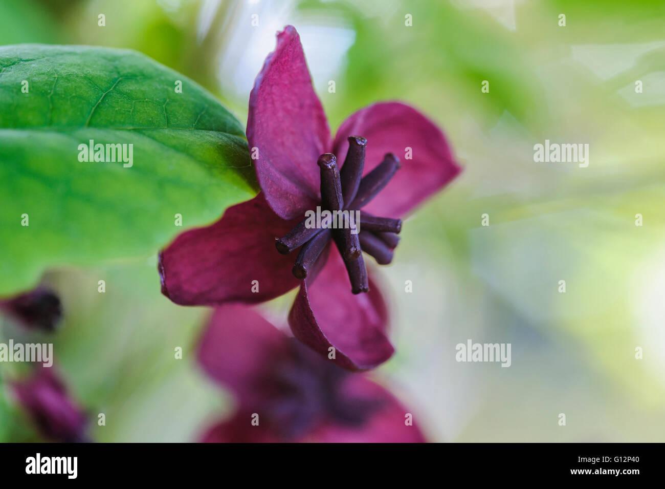 Akebia quinata, Chocolate Vine, Lardzabalaceae Stock Photo ...